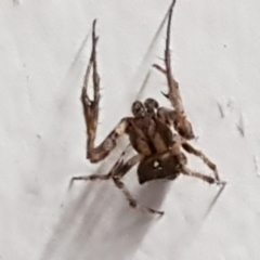 Australomimetus sp. (genus) (TBC) at Lyneham, ACT - 9 Mar 2021 by tpreston