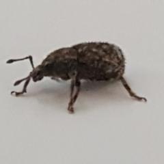 Mandalotus sp. (genus) (Unidentified Mandalotus weevil) at Lyneham, ACT - 10 Mar 2021 by tpreston