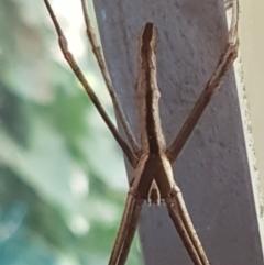 Deinopis subrufa (Rufous net casting spider) at Lyneham, ACT - 10 Mar 2021 by tpreston