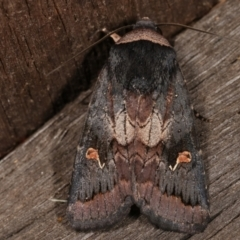 Proteuxoa cinereicollis (A noctuid or owlet moth) at Melba, ACT - 7 Mar 2021 by kasiaaus