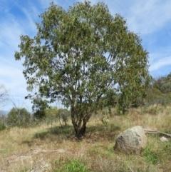 Eucalyptus blakelyi (Blakely's Red Gum) at Torrens, ACT - 7 Mar 2021 by MatthewFrawley