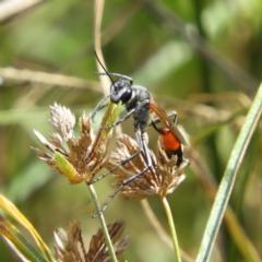 Podalonia tydei (Caterpillar-hunter wasp) at Kambah, ACT - 7 Mar 2021 by MatthewFrawley