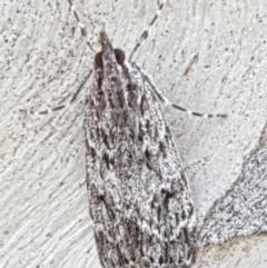 Scoparia favilliferella (A Pyralid moth) at Yarramundi Grassland  - 10 Mar 2021 by tpreston
