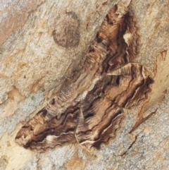 Scioglyptis lyciaria (White-patch Bark Moth) at Cook, ACT - 10 Mar 2021 by tpreston