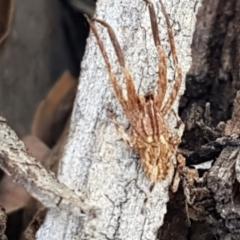 Stephanopis sp. (genus) (Knobbly crab spider) at Aranda Bushland - 10 Mar 2021 by tpreston
