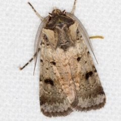 Agrotis porphyricollis (Variable Cutworm) at Melba, ACT - 7 Mar 2021 by Bron