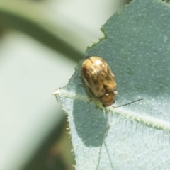Monolepta sp. (genus) (Leaf beetle) at Higgins, ACT - 1 Mar 2021 by AlisonMilton