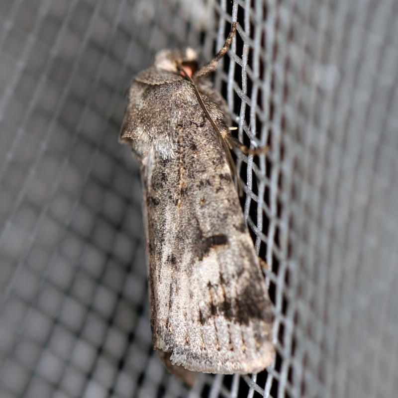 Thoracolopha (genus) at O'Connor, ACT - 1 Mar 2021