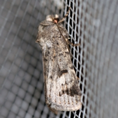 Thoracolopha (genus) (A Noctuid moth) at O'Connor, ACT - 1 Mar 2021 by ibaird