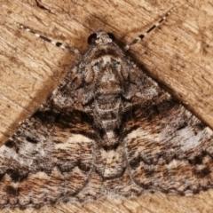 Gastrinodes argoplaca (Cryptic Bark Moth) at Melba, ACT - 5 Mar 2021 by kasiaaus