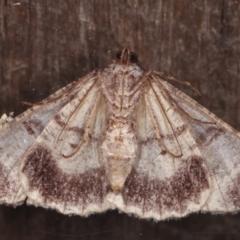 Gastrinodes bitaeniaria (Buff Bark Moth) at Melba, ACT - 5 Mar 2021 by kasiaaus
