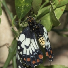 Papilio anactus (Dainty Swallowtail) at Higgins, ACT - 1 Mar 2021 by AlisonMilton