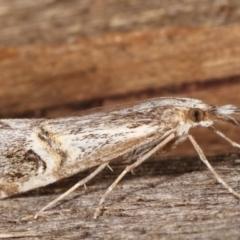 Hednota longipalpella (Pasture Webworm) at Melba, ACT - 6 Mar 2021 by kasiaaus