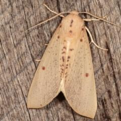 Plesanemma fucata (Lemon Gum Moth) at Melba, ACT - 6 Mar 2021 by kasiaaus
