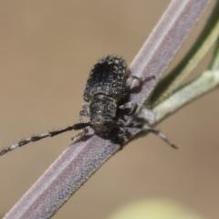 Ancita sp. (genus) (Longicorn or longhorn beetle) at Lake Ginninderra - 1 Mar 2021 by AlisonMilton