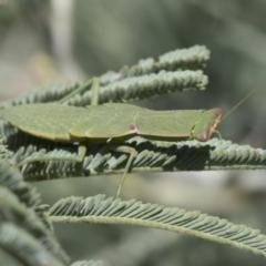Orthodera ministralis (Garden mantis) at Belconnen, ACT - 28 Feb 2021 by AlisonMilton