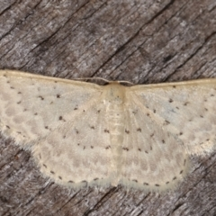 Idaea philocosma (Flecked Wave) at Melba, ACT - 6 Mar 2021 by kasiaaus