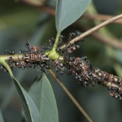 Eurymeloides pulchra (Gumtree hopper) at Scullin, ACT - 28 Feb 2021 by AlisonMilton