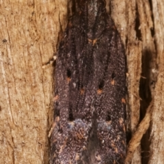 Ardozyga (genus) (Twirler moth, gelechiid moth) at Melba, ACT - 6 Mar 2021 by kasiaaus