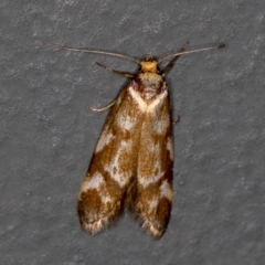Palimmeces habrophanes (A Concealer moth) at Melba, ACT - 7 Mar 2021 by Bron