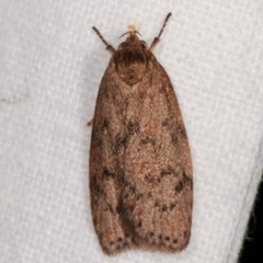 Heliocausta undescribed species (A concealer moth) at Melba, ACT - 6 Mar 2021 by kasiaaus