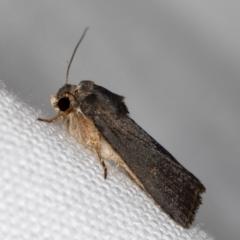 Proteuxoa undescribed species MoV 21 at Melba, ACT - 7 Mar 2021 by Bron