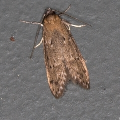 Oecophorinae (subfamily) (Unidentified Oecophorinae concealer moth) at Melba, ACT - 8 Mar 2021 by Bron