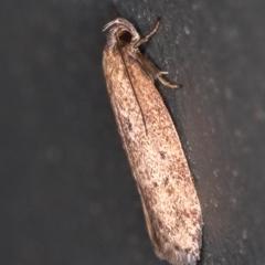 Oecophoridae (family) at Melba, ACT - 8 Mar 2021