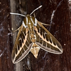 Hyles livornicoides (Australian Striped hawk Moth) at Melba, ACT - 8 Mar 2021 by Bron