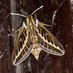 Hyles livornicoides (Australian Striped hawk Moth) at Melba, ACT - 8 Mar 2021 by Bron