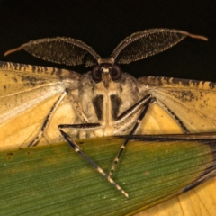 Scioglyptis lyciaria (White-patch Bark Moth) at Melba, ACT - 8 Mar 2021 by Bron