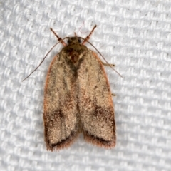 Garrha phoenopis (A Concealer moth) at Melba, ACT - 8 Mar 2021 by Bron