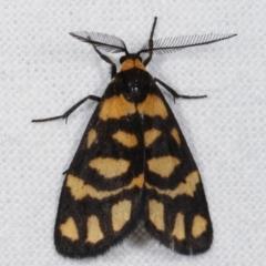 Asura lydia (Lydia Lichen Moth) at Melba, ACT - 6 Mar 2021 by kasiaaus