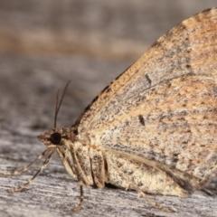 Epyaxa (genus) at Melba, ACT - 6 Mar 2021 by kasiaaus