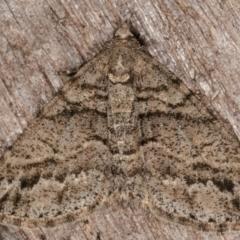 Lipogya eutheta (Grey Bark Moth) at Melba, ACT - 6 Mar 2021 by kasiaaus
