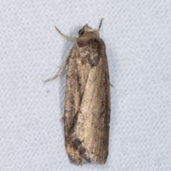 Athetis tenuis (A Noctuid moth) at Melba, ACT - 7 Mar 2021 by kasiaaus
