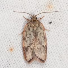 Garrha phoenopis (A Concealer moth) at Melba, ACT - 7 Mar 2021 by kasiaaus