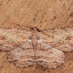 Ectropis excursaria (Common Bark Moth) at Melba, ACT - 7 Mar 2021 by kasiaaus
