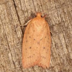 Garrha carnea (A concealer moth) at Melba, ACT - 7 Mar 2021 by kasiaaus