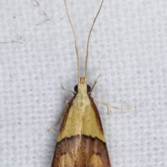 Crocanthes prasinopis (A Curved -horn moth) at Melba, ACT - 7 Mar 2021 by kasiaaus