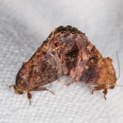 Peritropha oligodrachma (A twig moth) at Melba, ACT - 7 Mar 2021 by kasiaaus