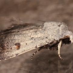 Proteuxoa tibiata (An Owlet moth) at Melba, ACT - 7 Mar 2021 by kasiaaus