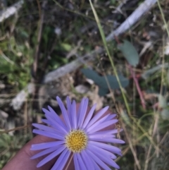 Brachyscome spathulata (Coarse Daisy, Spoon-leaved Daisy) at Kosciuszko National Park - 6 Mar 2021 by Tapirlord