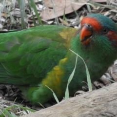 Glossopsitta concinna (Musk Lorikeet) at Flynn, ACT - 10 Mar 2021 by Christine