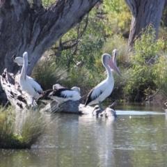 Pelecanus conspicillatus (Australian Pelican) at Albury - 9 Mar 2021 by PaulF