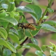 Vespula germanica (European wasp) at National Zoo and Aquarium - 10 Mar 2021 by RodDeb