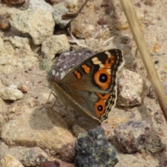 Junonia villida (Meadow Argus) at Gilmore Paddocks - 11 Mar 2021 by RodDeb