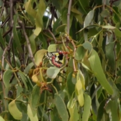 Delias aganippe (Spotted Jezebel) at Gilmore Paddocks - 11 Mar 2021 by RodDeb
