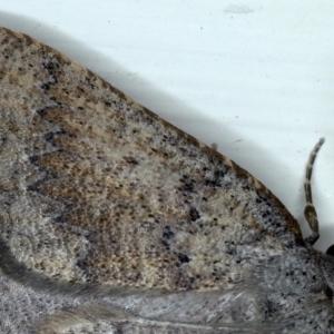 Furcatrox (genus) at Ainslie, ACT - 10 Mar 2021