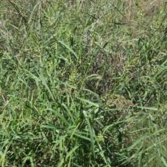 Echinochloa crus-galli (Barnyard Grass) at The Pinnacle - 26 Feb 2021 by pinnaCLE